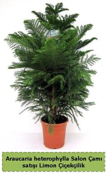 Salon Çamı Satışı Araucaria heterophylla  Tekirdağ ucuz çiçek gönder