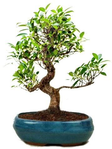 25 cm ile 30 cm aralığında Ficus S bonsai  Tekirdağ çiçek gönderme