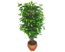 Ficus Benjamin 1,50 cm   Tekirdağ çiçek online çiçek siparişi