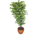 Ficus özel Starlight 1,75 cm   Tekirdağ uluslararası çiçek gönderme