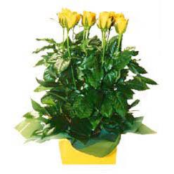 11 adet sari gül aranjmani  Tekirdağ İnternetten çiçek siparişi