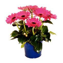 vazo içerisinde gerbera çiçekleri   Tekirdağ cicekciler , cicek siparisi