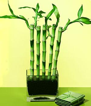 Tekirdağ çiçek online çiçek siparişi  Good Harmony Lucky Bamboo camda