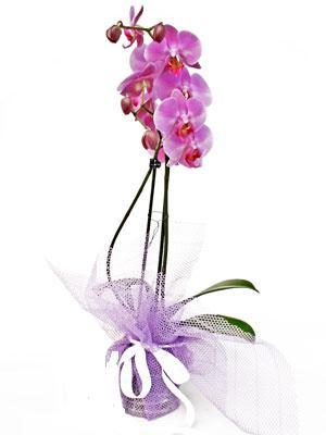 Tekirdağ çiçek online çiçek siparişi  Kaliteli ithal saksida orkide