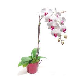 Tekirdağ çiçek satışı  Saksida orkide