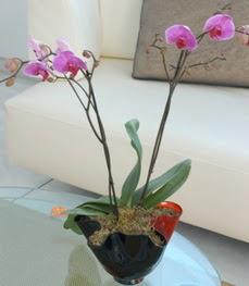 Tekirdağ internetten çiçek satışı  tek dal ikili orkide saksi çiçegi