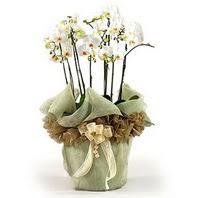 Tekirdağ çiçekçiler  3 dal orkide , saksi çiçegi , 3 kök orkide