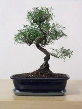 ithal bonsai saksi çiçegi  Tekirdağ cicek , cicekci