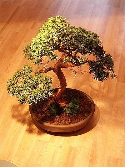 ithal bonsai saksi çiçegi  Tekirdağ güvenli kaliteli hızlı çiçek