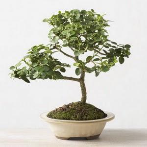 ithal bonsai saksi çiçegi  Tekirdağ çiçek mağazası , çiçekçi adresleri