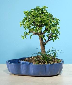 ithal bonsai saksi çiçegi  Tekirdağ çiçek siparişi vermek