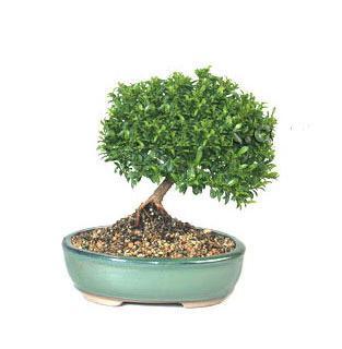 ithal bonsai saksi çiçegi  Tekirdağ 14 şubat sevgililer günü çiçek