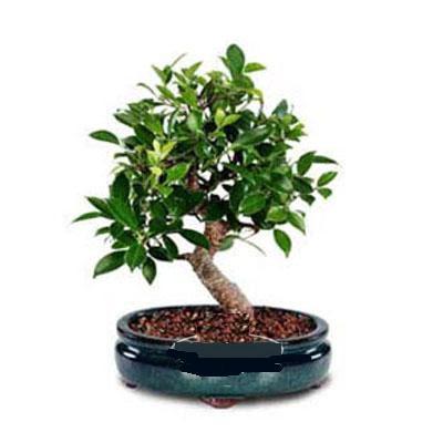 ithal bonsai saksi çiçegi  Tekirdağ çiçekçiler