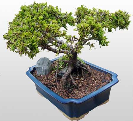 ithal bonsai saksi çiçegi  Tekirdağ internetten çiçek satışı