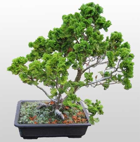 ithal bonsai saksi çiçegi  Tekirdağ çiçek yolla