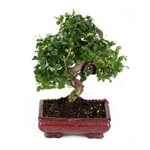 ithal bonsai saksi çiçegi  Tekirdağ çiçek online çiçek siparişi