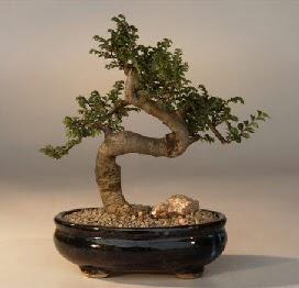 ithal bonsai saksi çiçegi  Tekirdağ hediye sevgilime hediye çiçek