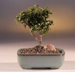 Tekirdağ çiçekçi telefonları  ithal bonsai saksi çiçegi  Tekirdağ internetten çiçek siparişi