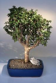 Tekirdağ çiçek satışı  ithal bonsai saksi çiçegi  Tekirdağ çiçek siparişi vermek