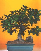 Tekirdağ çiçek , çiçekçi , çiçekçilik  ithal bonsai saksi çiçegi  Tekirdağ online çiçek gönderme sipariş