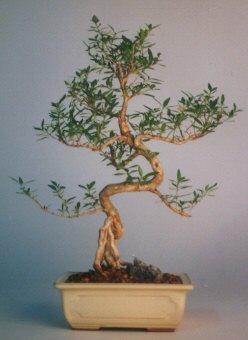Tekirdağ ucuz çiçek gönder  ithal bonsai saksi çiçegi  Tekirdağ cicek , cicekci