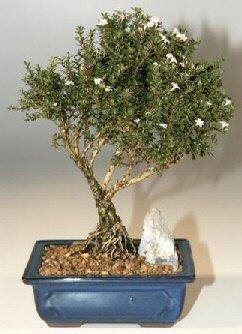 Tekirdağ hediye çiçek yolla  ithal bonsai saksi çiçegi  Tekirdağ cicekciler , cicek siparisi