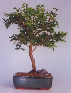Tekirdağ çiçekçi mağazası  ithal bonsai saksi çiçegi  Tekirdağ çiçek online çiçek siparişi