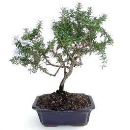 ithal bonsai saksi çiçegi  Tekirdağ çiçek , çiçekçi , çiçekçilik