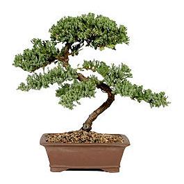 ithal bonsai saksi çiçegi  Tekirdağ çiçek gönderme