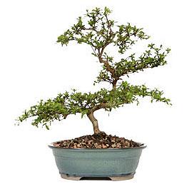 Tekirdağ çiçek yolla  ithal bonsai saksi çiçegi  Tekirdağ çiçek gönderme