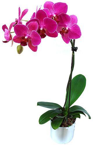 Tekirdağ internetten çiçek satışı  saksi orkide çiçegi