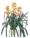 Tekirdağ çiçek siparişi vermek  Orchiede ithal büyük boy saksi