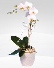 1 dallı orkide saksı çiçeği  Tekirdağ İnternetten çiçek siparişi