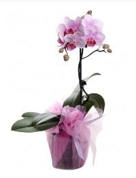 1 dal pembe orkide saksı çiçeği  Tekirdağ yurtiçi ve yurtdışı çiçek siparişi