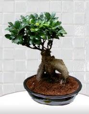 saksı çiçeği japon ağacı bonsai  Tekirdağ yurtiçi ve yurtdışı çiçek siparişi