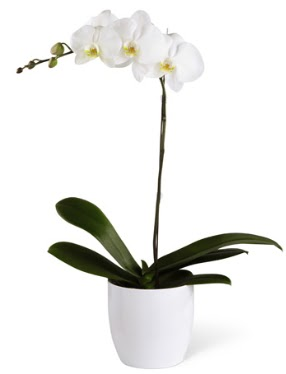 1 dallı beyaz orkide  Tekirdağ hediye sevgilime hediye çiçek