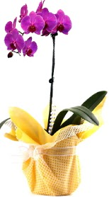 Tekirdağ çiçekçiler  Tek dal mor orkide saksı çiçeği