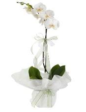 1 dal beyaz orkide çiçeği  Tekirdağ cicek , cicekci