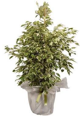 Orta boy alaca benjamin bitkisi  Tekirdağ internetten çiçek siparişi