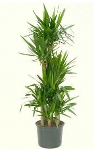 7 li yucca saksı bitkisi  Tekirdağ kaliteli taze ve ucuz çiçekler