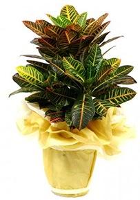 Orta boy kraton saksı çiçeği  Tekirdağ hediye sevgilime hediye çiçek