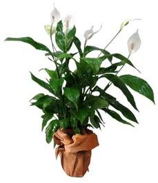 Orta boy barış çiçeği limon çiçeği  Tekirdağ online çiçek gönderme sipariş
