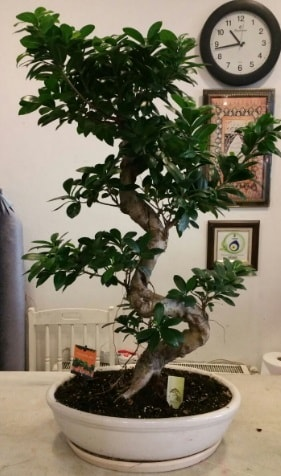 100 cm yüksekliğinde dev bonsai japon ağacı  Tekirdağ çiçek yolla