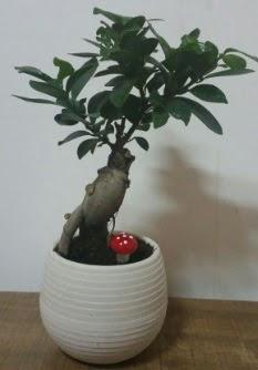 Bonsai japon ağacı saksı çiçeği  Tekirdağ çiçek gönderme
