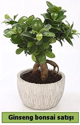 Ginseng bonsai japon ağacı satışı  Tekirdağ çiçek , çiçekçi , çiçekçilik