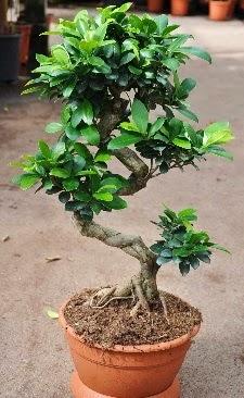 Orta boy bonsai saksı bitkisi  Tekirdağ online çiçek gönderme sipariş