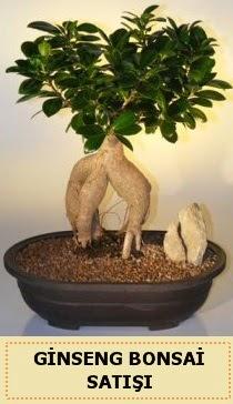 İthal Ginseng bonsai satışı japon ağacı  Tekirdağ çiçekçiler