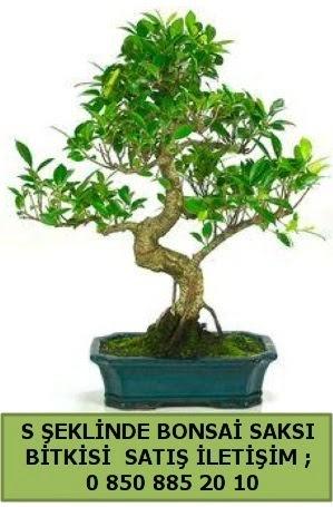 İthal S şeklinde dal eğriliği bonsai satışı  Tekirdağ çiçek satışı