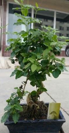 Bonsai japon ağacı saksı bitkisi  Tekirdağ cicek , cicekci