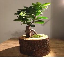 Doğal kütükte Bonsai japon ağacı satışı  Tekirdağ internetten çiçek siparişi